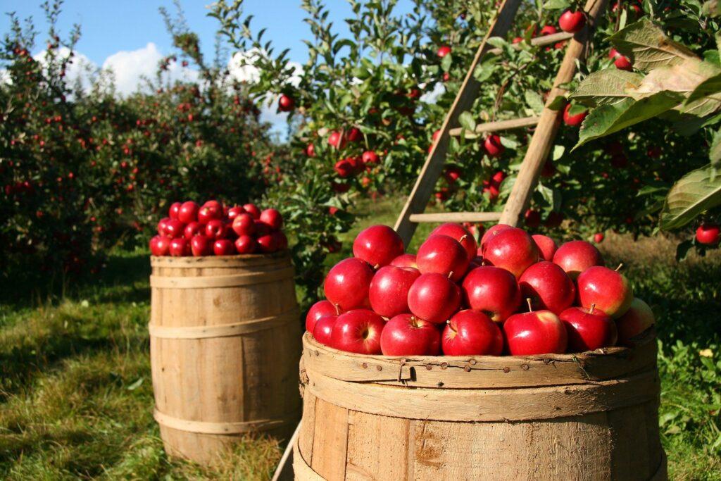 Pomares de maçãs. Femaçã é desta dedicada à fruta