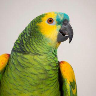 Papagaio é nome popular de várias espécies da classe Psittaciformes