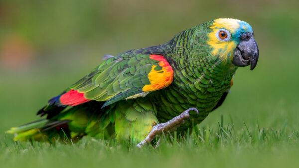 Psitacídeos são aves muito inteligentes e desenvolvidas
