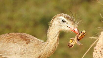 Siriema (ou seriema) é uma ave da família Cariamidae