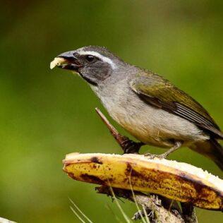 Trinca-ferro é uma bela ave comum no Brasil e países limítrofes