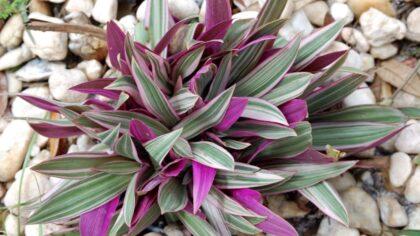 Abacaxi roxo é uma planta muito utilizada no paisagismo