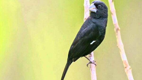 Bicudos são aves passeriformes de características interessantes