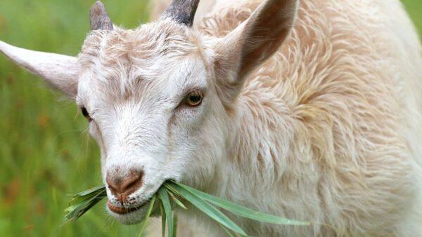 Criação de cabras leiteiras tem investimento inicial baixo