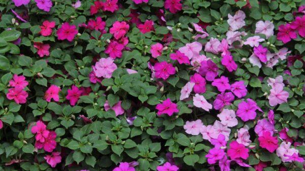 Impatiens é um grande gênero botânico da família Balsaminaceae