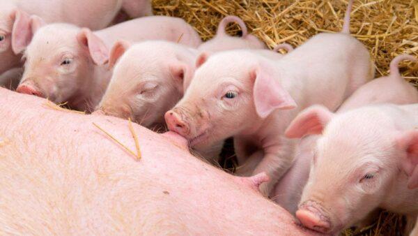 Leitões, os porcos jovens, têm criação e consumo no mundo todo