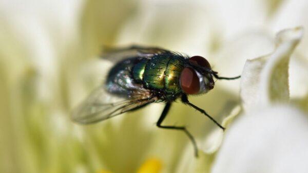 Miíase é uma afecção parasitária provocada por larvas de inseto