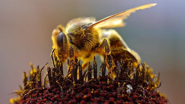Abelha rainha se desenvolve a partir de larvas de células especiais