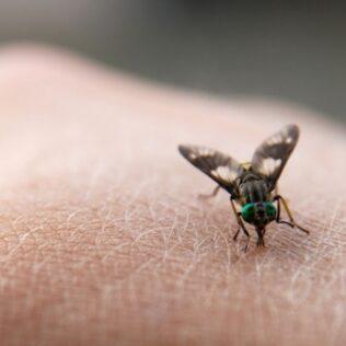Berne é infestação parasitária causada por larvas de moscas