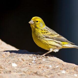 Canário é pássaro pequeno originário de locais como as Ilhas Canárias