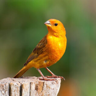 Canário da terra é uma linda ave originária da América do Sul