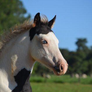 Cavalos à venda: como funciona a comercialização de cavalos