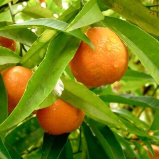 Citrus é um gênero de plantas que contém três espécies diferentes