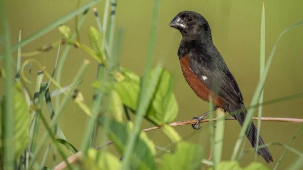 Curiós são aves conhecidas e com grande variedade de tipos