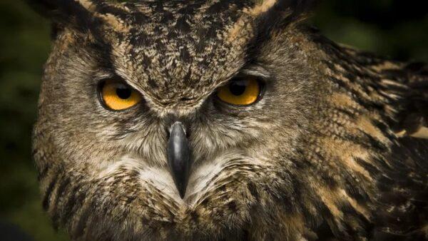 Conheça 16 espécies de coruja que chamam muito a atenção