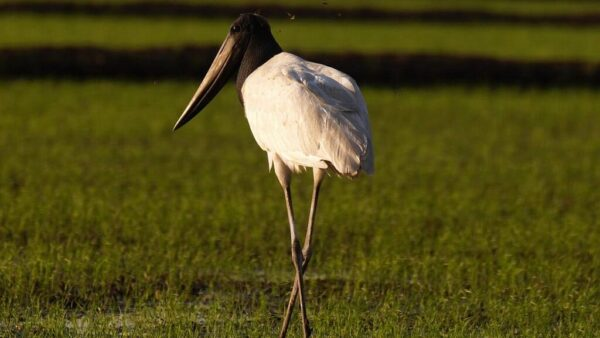 Jaburu é uma espécie de ave com plumagem branca e cabeça negra