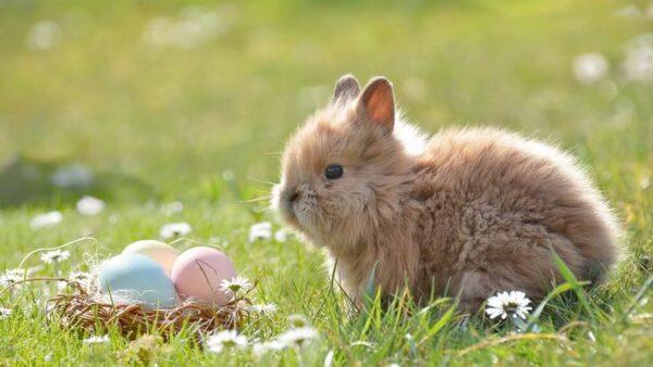 Mini coelhos são mamíferos fofinhos e muito procurados como pets