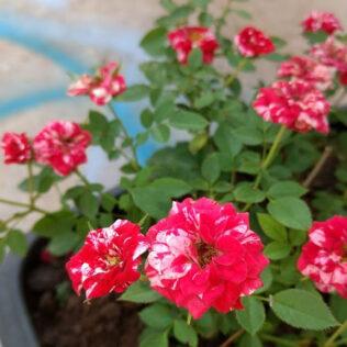Mini rosa, nativa do sudoeste da China, encanta a todos