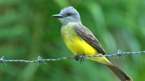 Suiriri é um lindo pássaro de barriga amarela, parecido com o bem-te-vi
