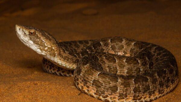 Cobra cotiara é uma serpente da família Viperidae