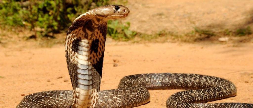 cobras mais venenosas do mundo