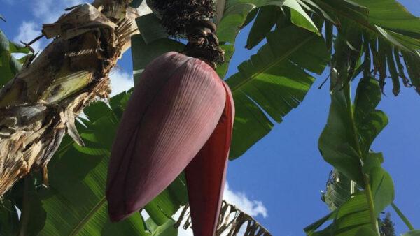 Coração de bananeira é de onde nascem os cachos de banana