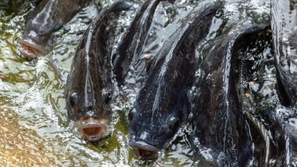 A criação de peixes no Brasil e as suas melhores práticas
