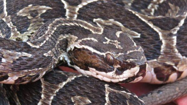 Jararaca cruzeira é uma espécie de serpente da família Viperidae