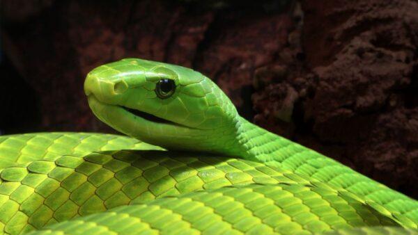 Mamba-verde é uma cobra brilhante, comprida e fina