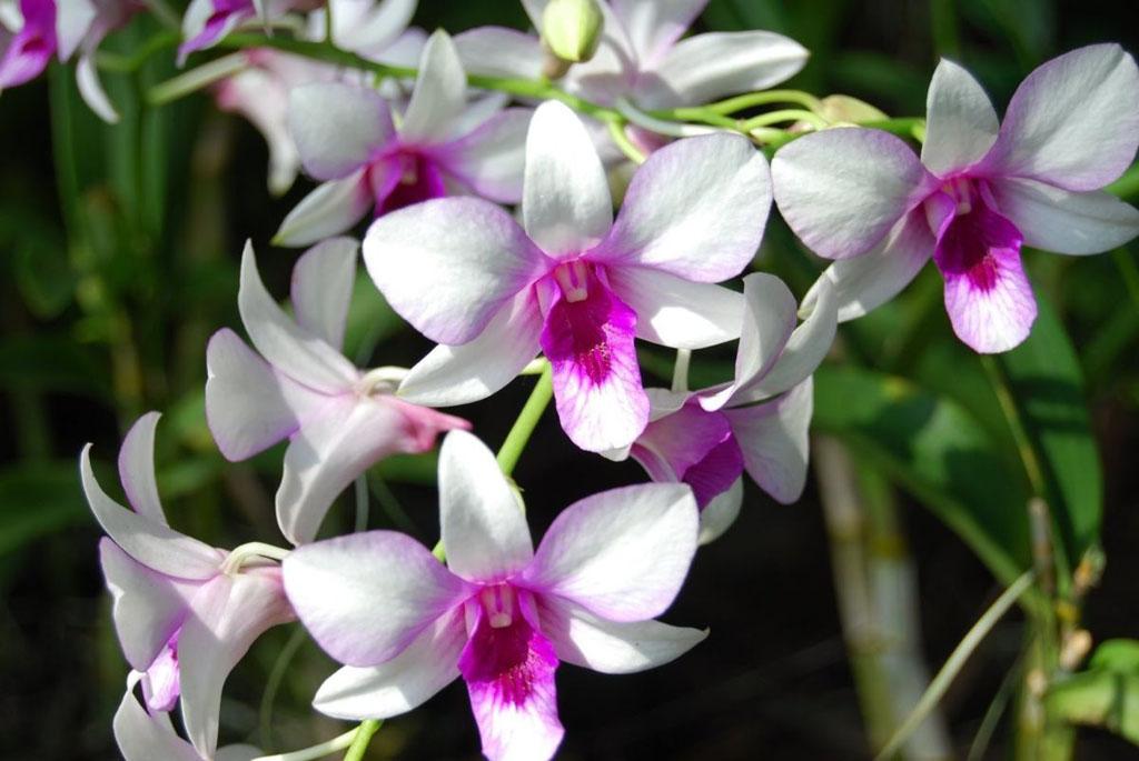 Orquídea denphal