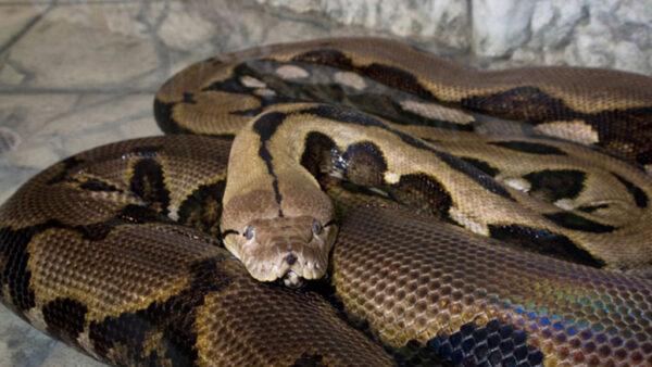 Pítons são cobras comumente encontradas na Ásia e África