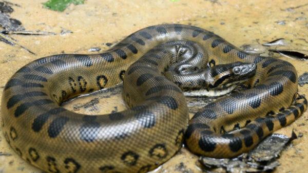 Sucuri é um grupo semiaquático de cobras, comum na América do Sul