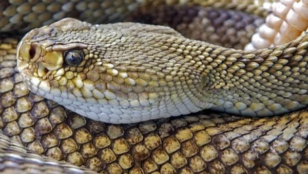 Cobra cascavel é nome genérico de cobras Sistrurus e Crotalus