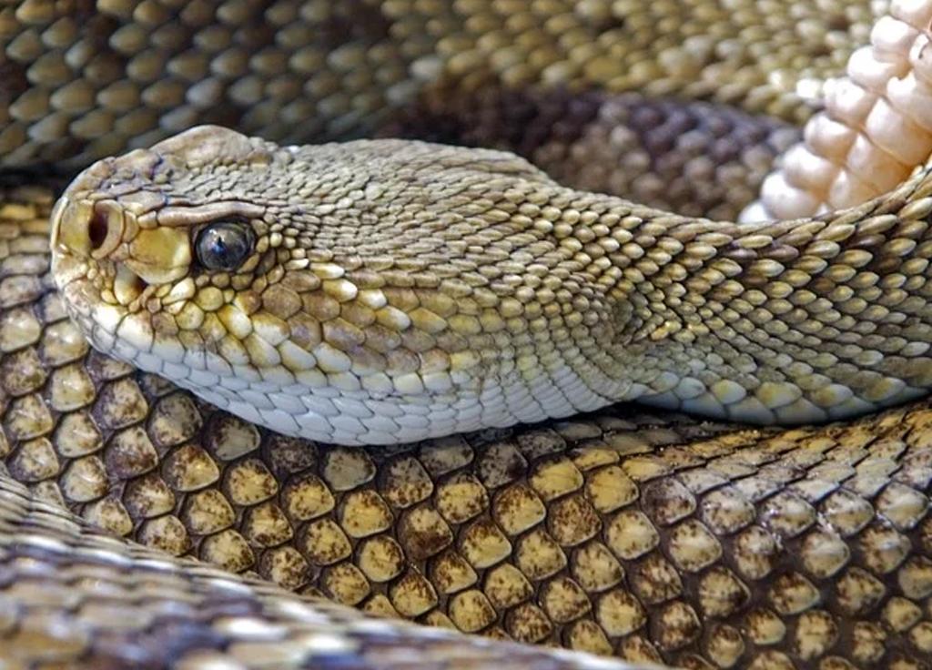 Cobra cascavel