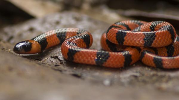 Cobra coral é nome dado a várias serpentes da família Elapidae
