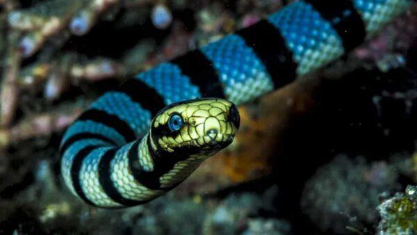 Cobra marinha (ou cobra do mar) tem coloração amarelada
