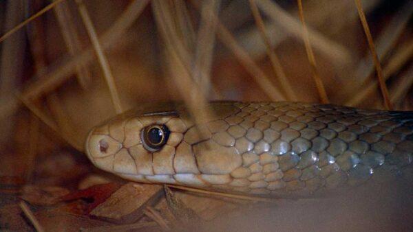 Cobra marrom tem o 2º mais poderoso veneno entre as cobras terrestres