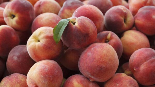 Entenda como plantar pêssego e obter boas frutas para comercialização