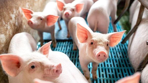 Criação de suínos é uma das mais rentáveis para os brasileiros