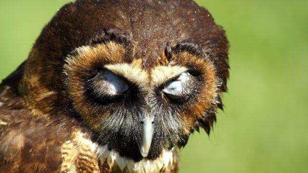 Murucututu é uma coruja que habita o território brasileiro