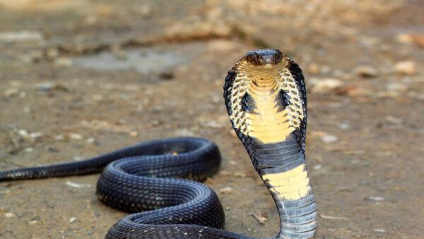 Naja é serpente peçonhenta mais comum na África e do sul da Ásia
