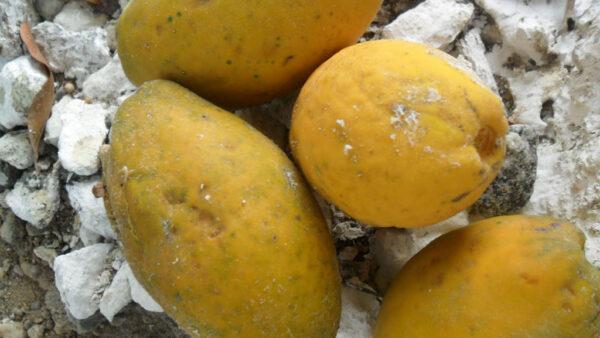 Oiti, árvore perenifólia nativa do Brasil, tem mais de 500 espécies