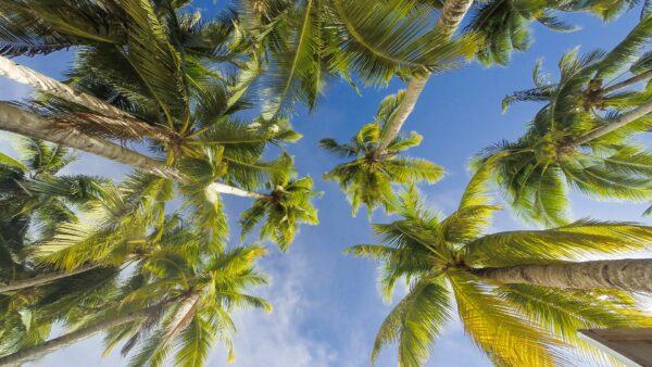 Palmito de açaí é produzido pela palmeira conhecida como açaizeiro