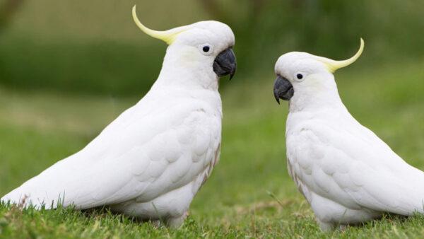 Cacatua é tipo de ave psitaciforme que tem várias espécies
