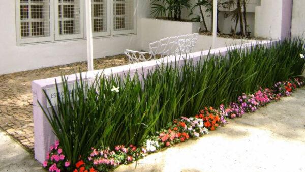 Planta moreia, da família das herbáceas, tem pequeno porte