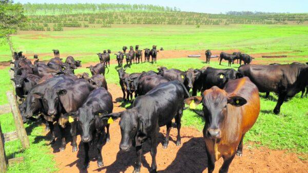 Pecuarista é aquele profissional que possui ou cria gado