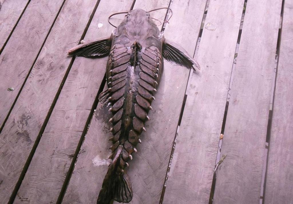 Peixe abotoado