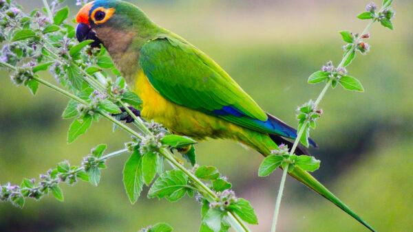 Periquito rei, da família Psittacidae, é abundante no Brasil