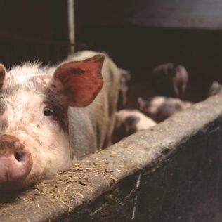 Peste suína existe desde o início do século XX no sul e leste africanos