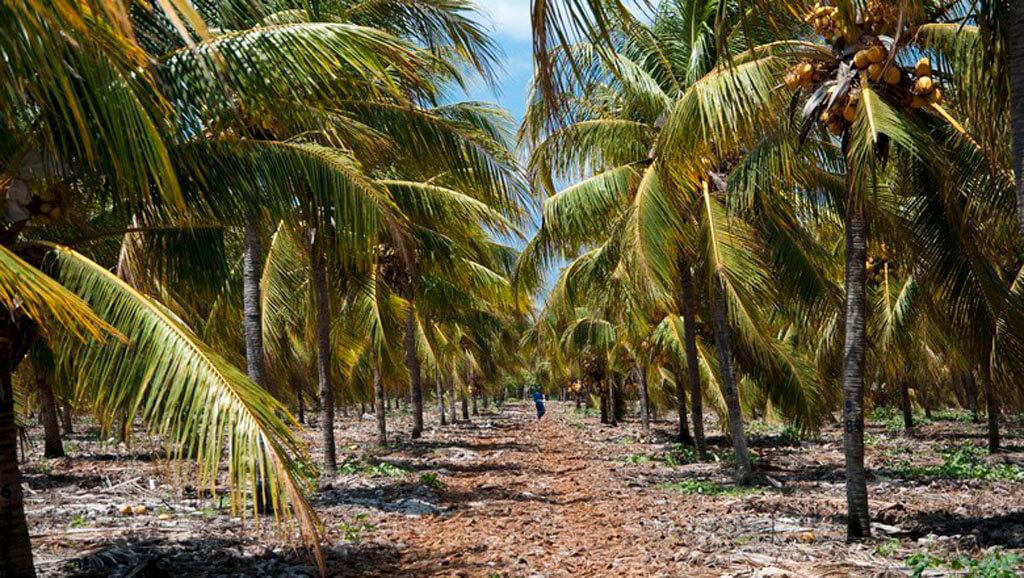 Folha de coqueiro